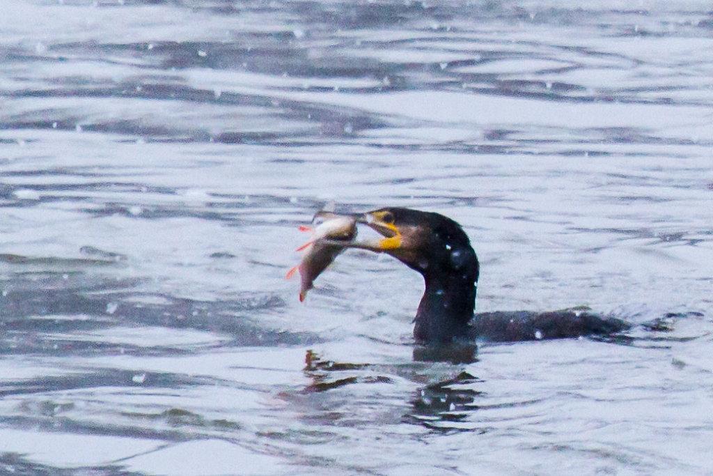 Kormoran beim Fischfang